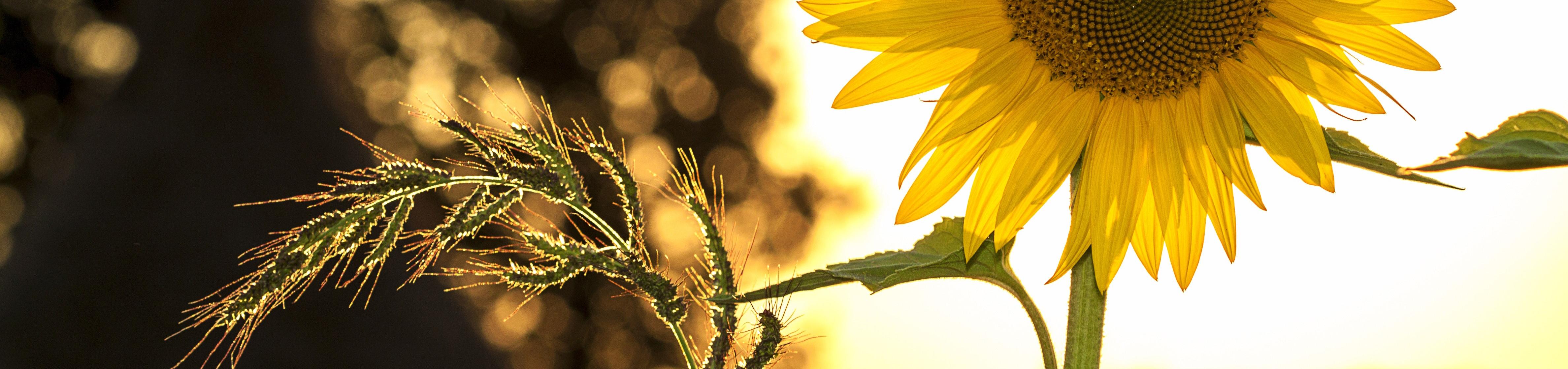 Bild på solros som symboliserar den svenska sommaren när många av landets kommuner har en stor utmaning i att rekrytera till sommarjobben.